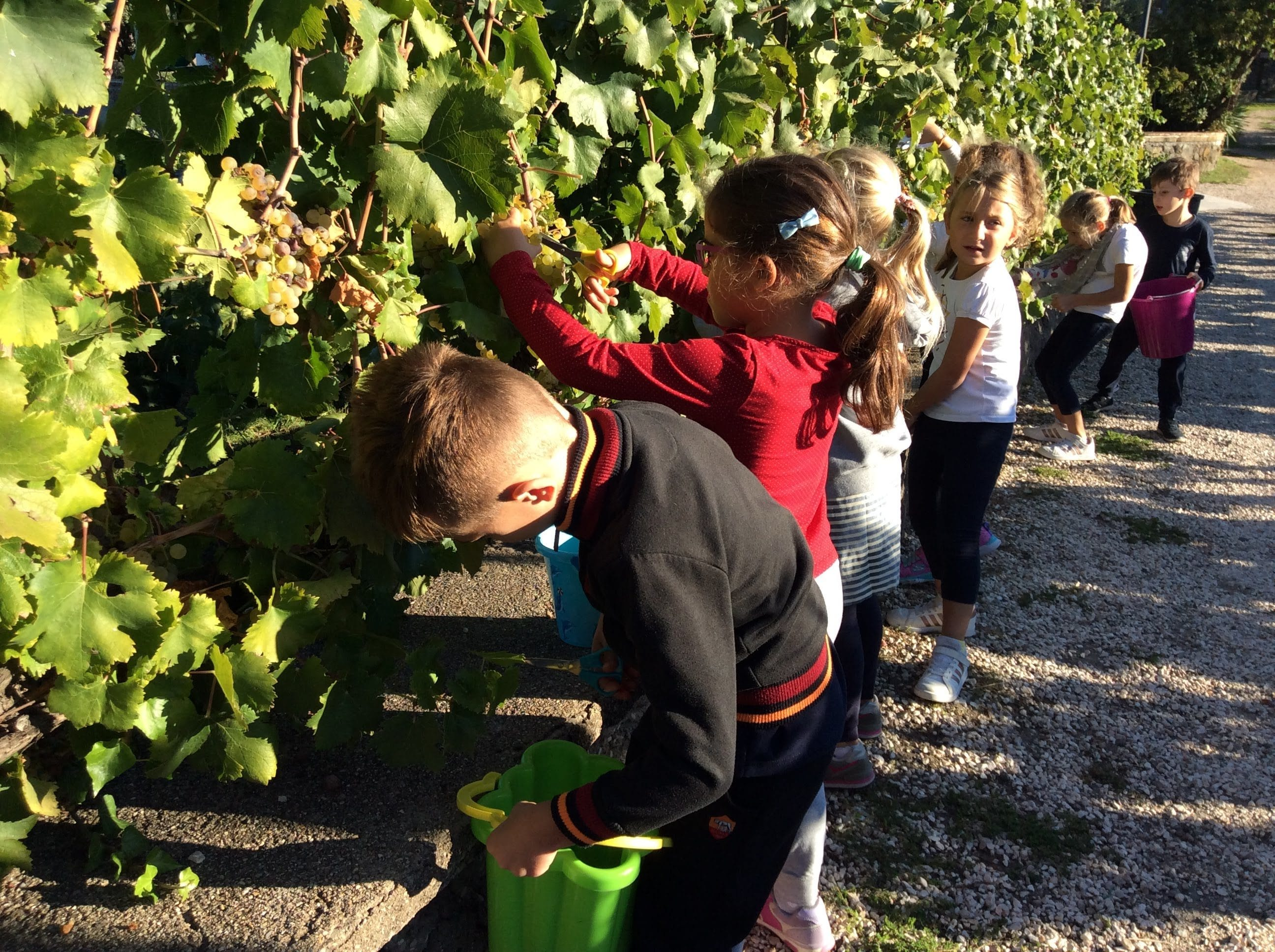 Class one taking part in the grape harvest