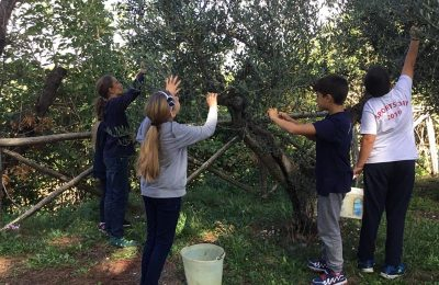 Olive-Harvest-PBL